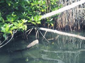 Spot the croc...